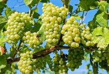 Photo of Какие фрукты растут в Черногории